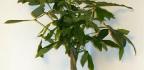 Pokojová rostlina Pachira aquatica