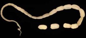 Praziquantel na parazity v těle