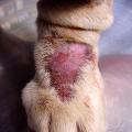 Dermatitida upsa