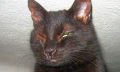 Červené žilky voku kočky