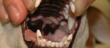 Trhání zubů upsa