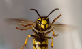 Alergie po bodnutí hmyzem