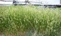 Alergie na pyl trav