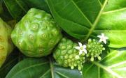 Noni – Morinda citrifolia