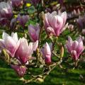Druhy kvetoucích keřů magnolia