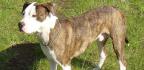 Pes pitbull