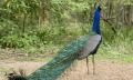 Páv modrý