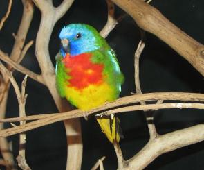 Neoféma modrohlavá