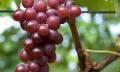 Kalendář pro vinaře - září