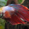 Ryba beta bojovnice