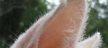 Kočka seškrábe vuších