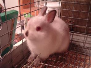 Zakrslý králík - chov