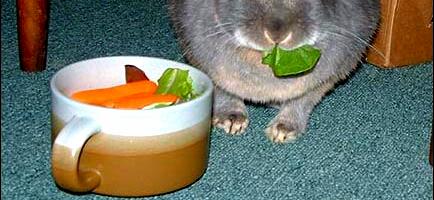 Strava králíka domácího