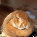 Ukázkové druhy velkých plemen králíků
