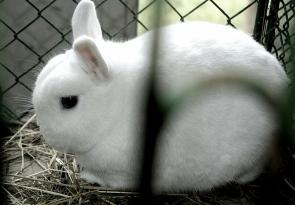 Ukázkové druhy zakrslých plemen králíků