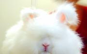 Ukázkové druhy dlouhosrstých králíků